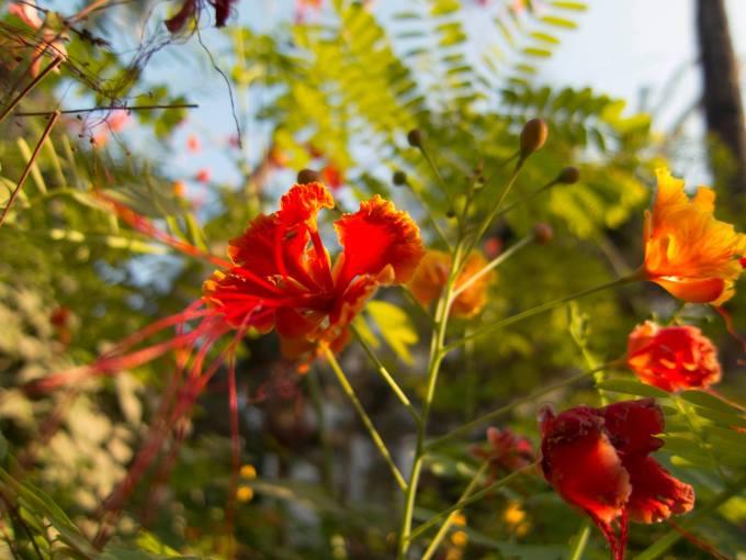 Peacock Flower 3